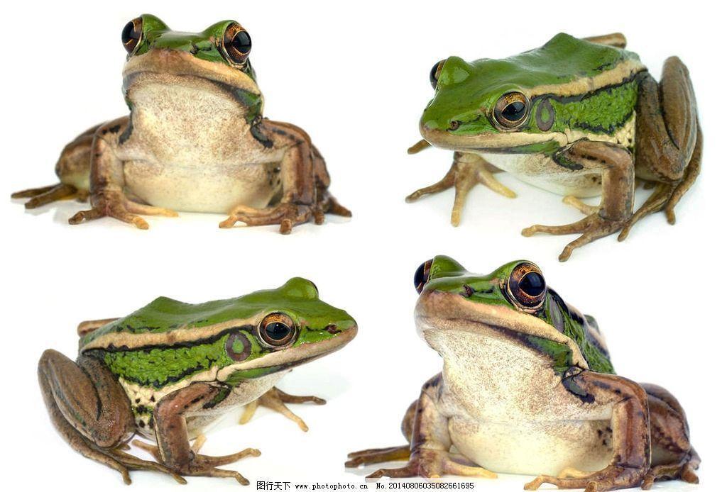 青蛙 蛤蟆 小青蛙 两栖动物 树蛙 野生动物 生物世界 摄影 300dpi jpg