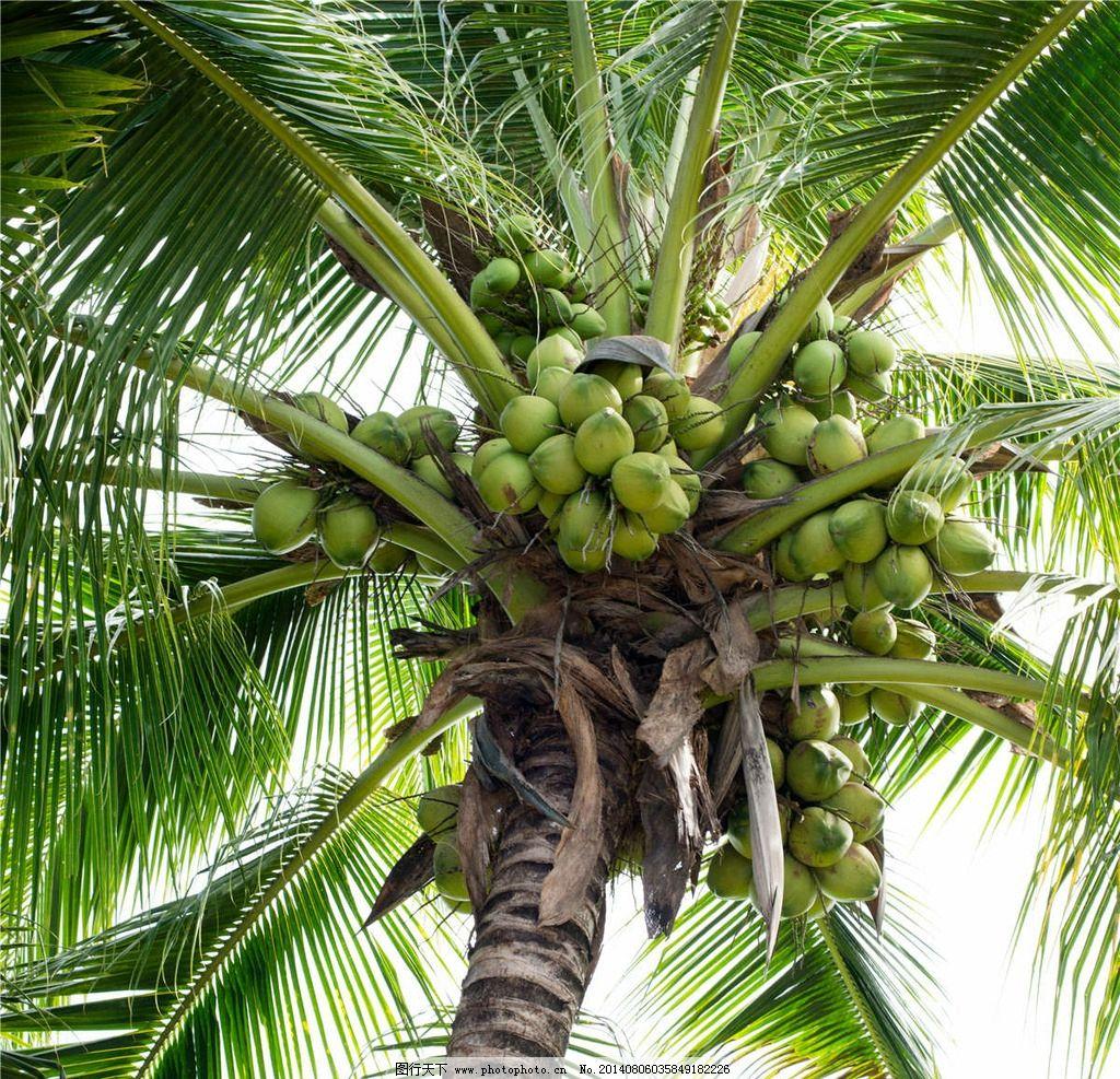 椰子树 椰子 热带水果 水果 南方水果 椰子壳 树木树叶 生物世界 摄影