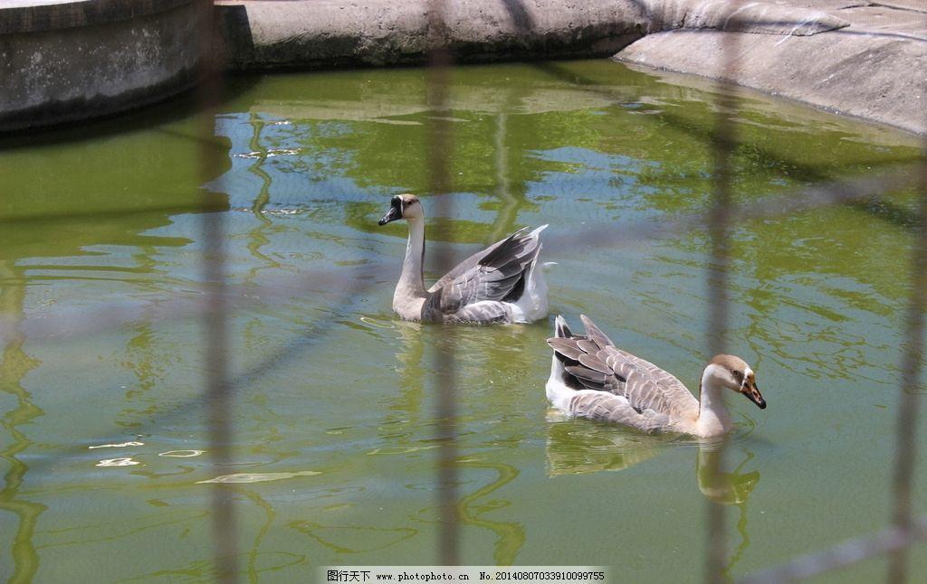 公园鸭子图片