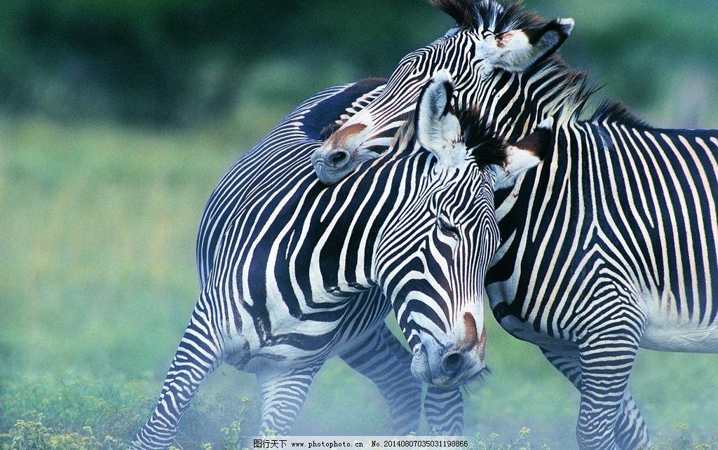 斑马 两只斑马 陆地动物 相互依偎 黑白条 相亲相爱 野生动物 生物