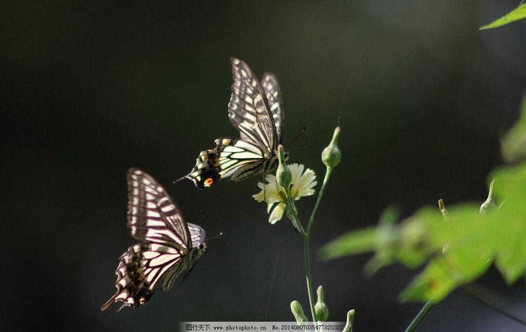 蝴蝶 动物 昆虫 生物 蝶恋花 生物世界 摄影 72dpi jpg