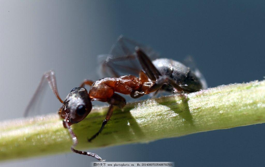蚂蚁 昆虫 生物 动物 节肢动物