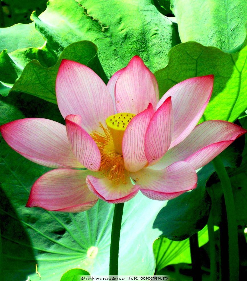 荷花 荷叶 荷花照片 荷花摄影 花卉 花草树木 生物世界 素材 花草