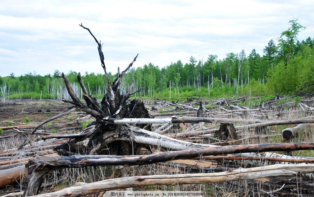 倒树 枯木 河滩倒树 白桦林 白桦树 朽木 森林 自然风景 自然景观