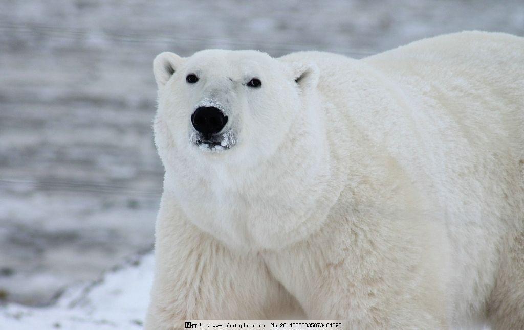 北极熊特写 白毛北极熊 肥胖的北极熊 健壮的北极星 野生动物 生物