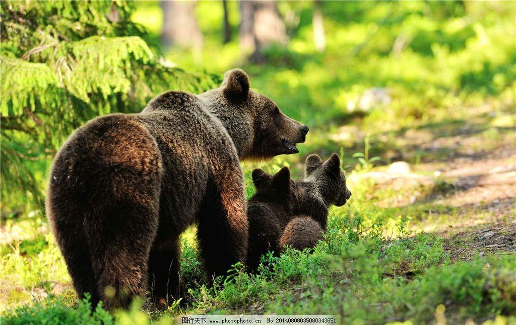 灰熊 熊 棕熊 小熊 保护动物 可爱动物 野生动物 生物世界 摄影 300dp