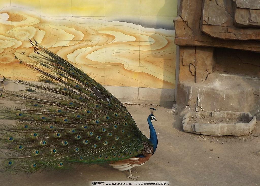 绿孔雀 鸟 动物 孔雀 飞禽 鸟类 生物世界 摄影 72dpi jpg