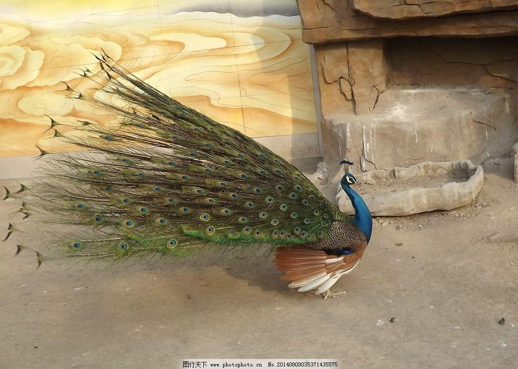 绿孔雀 鸟 动物 飞禽 鸟类 生物世界 摄影