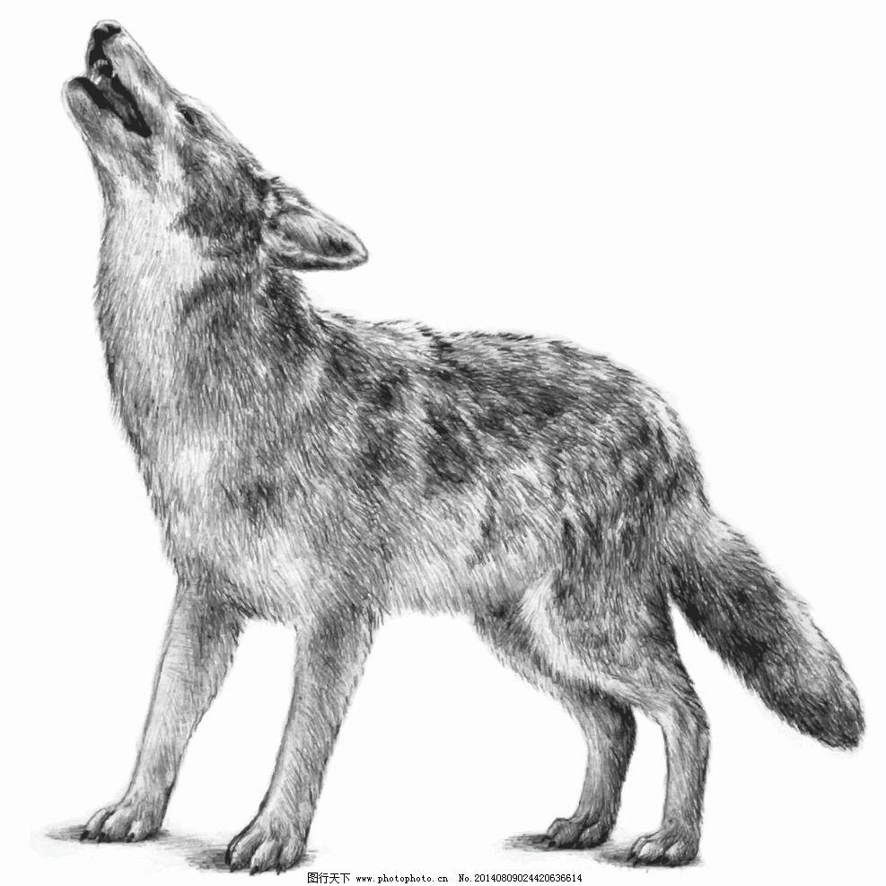 野狼 狼 苍狼 动物 动物世界 手绘 狼狗 野生动物 哺乳动物 生物世界