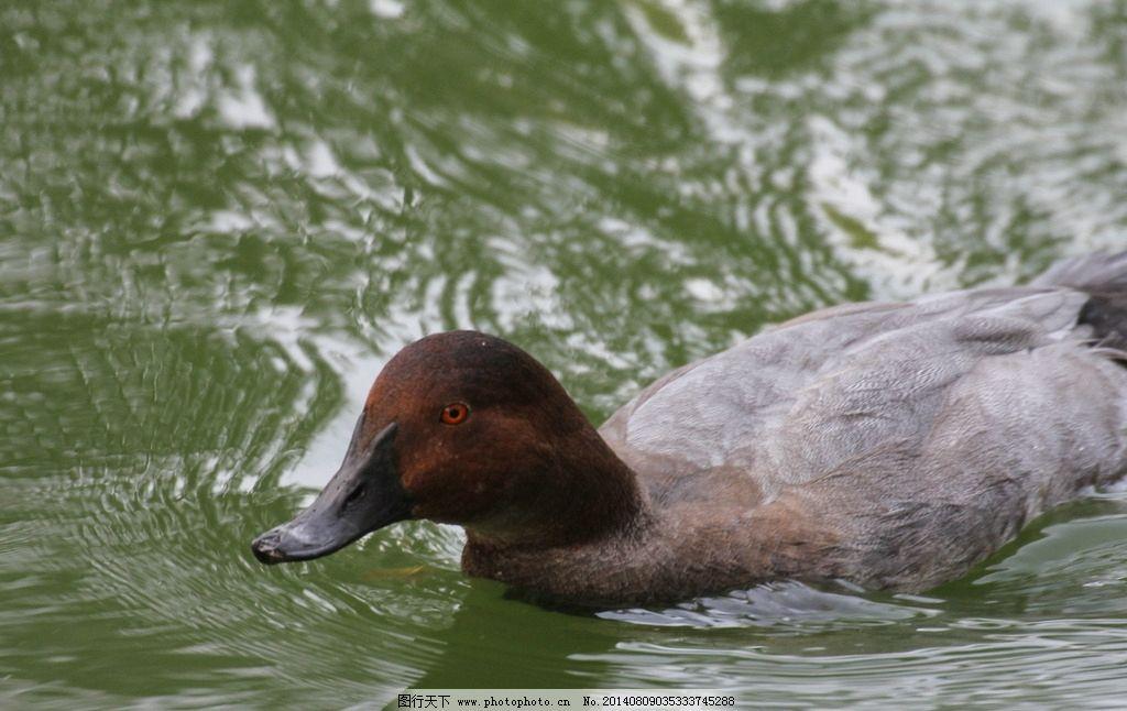 鸭子 鸭 鸭子动物 水禽湖