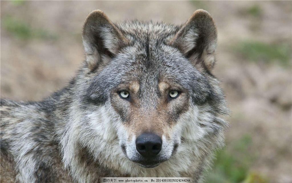 野狼 狼 灰狼 野生动物 珍贵动物 大灰狼 生物世界 摄影 300dpi jpg