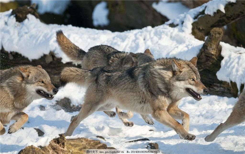 野狼 狼群 狼 灰狼 野生动物 珍贵动物 大灰狼 生物世界 摄影 300dpi