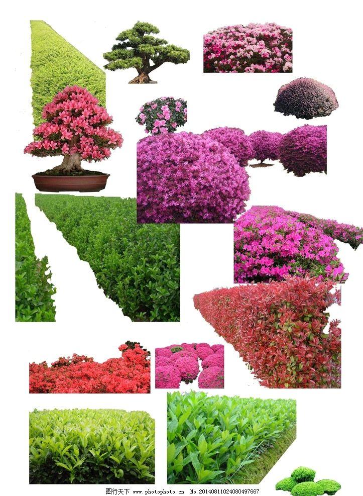 大量灌木花卉素材psd 红花石楠 红继木 杜鹃 法国冬青 满天星 罗汉松