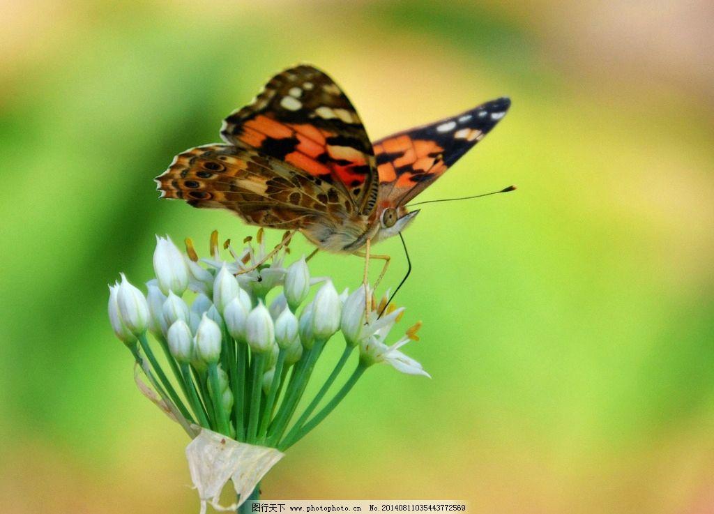 蝴蝶 生态 自然界 昆虫图片 昆虫纲 节肢动物门 昆虫系列二 摄影