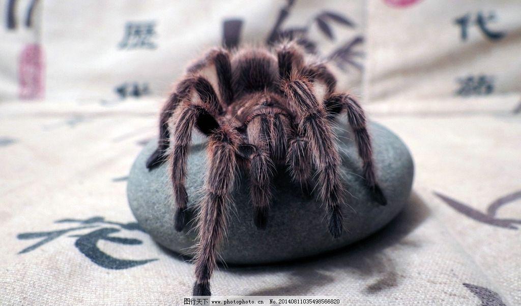 蜘蛛 生态 自然界 昆虫图片 昆虫纲 节肢动物门 insecta 昆虫系列二