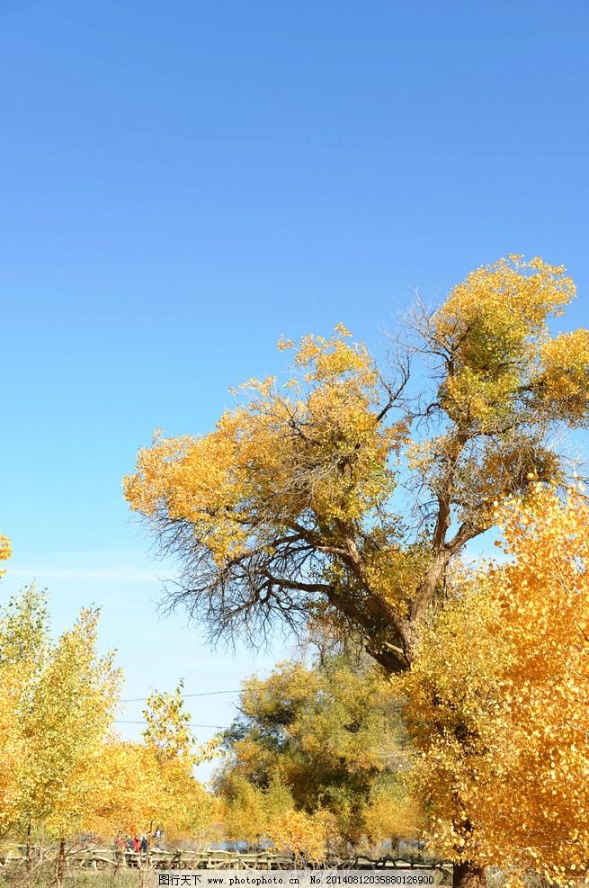胡杨林 胡杨树 胡杨 树 额济纳旗胡杨 杨树 树木树叶 生物世界 摄影