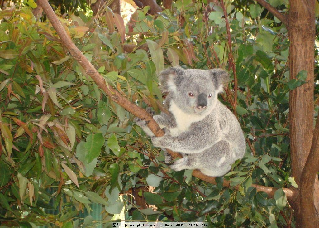 考拉 澳大利亚 昆士兰州 可伦宾动物园 国外旅游 野生动物 生物世界