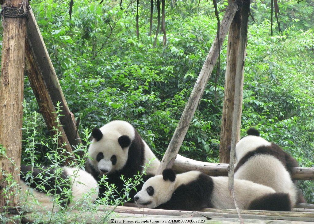 大熊猫 熊猫 嬉戏 吃竹子 可爱 野生动物 生物世界 摄影 180dpi jpg