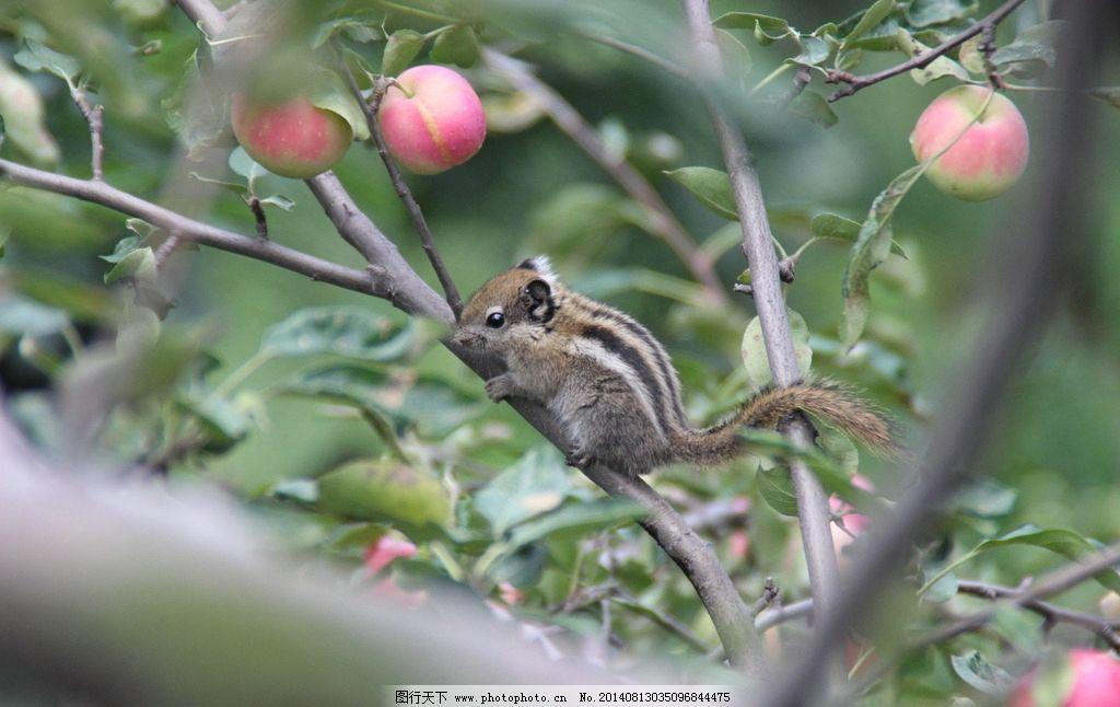 花鼠 松鼠 老鼠 动物 野生动物 水果 树木 树叶 动物世界 生物世界