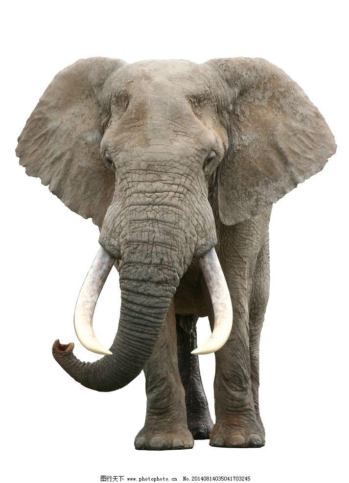 大象 象 象牙 动物 野生 野生动物 生物世界 摄影 300dpi jpg