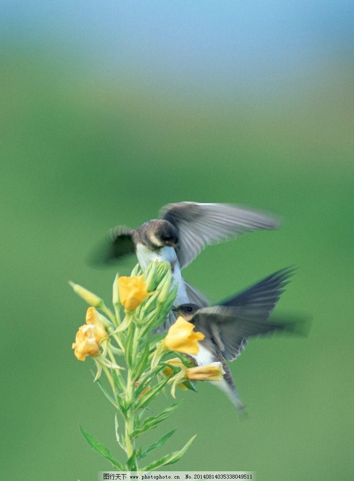 花鸟 黄色花朵 摄影 自然界 小鸟 鸟类 生物世界 350dpi jpg