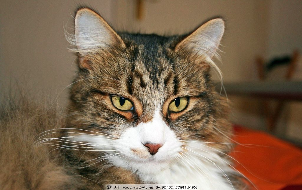 小猫 动物 有毛动物 家禽 家畜 哺乳动物 猫咪 家禽家畜 生物世界