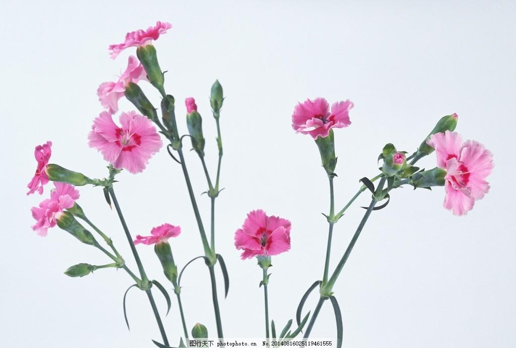 康乃馨 花 植物 鲜花 花朵 花瓣 摄影