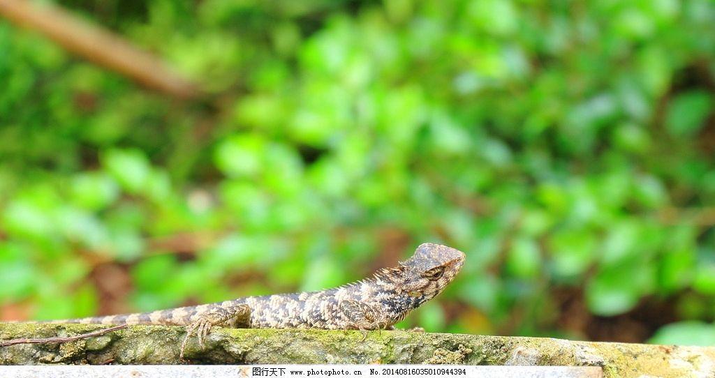 蜥蜴 小蜥蜴 野生蜥蜴 冷血蜥蜴 爬行动物 珍惜动物 野生动物