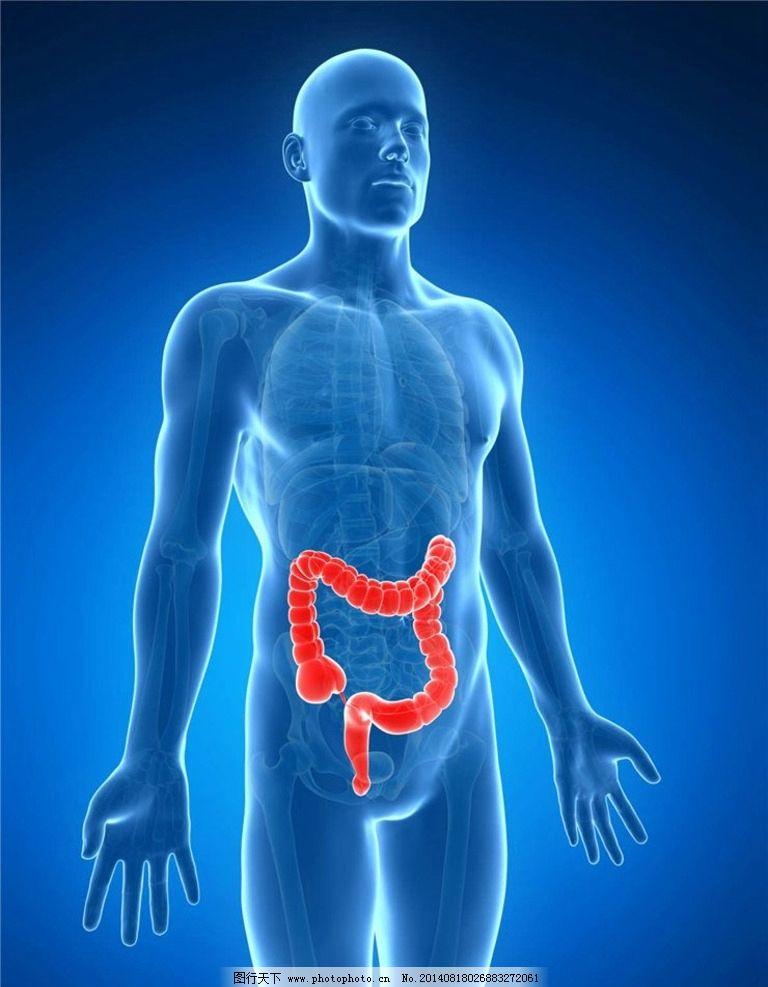 大肠 人体器官 肠道 消化系统 人体组织 人体结构 医学 医疗