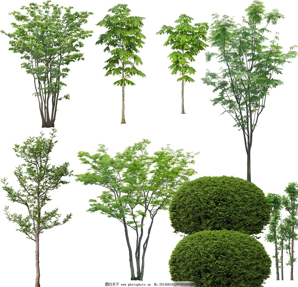 园林植物图谱手绘线稿乔木