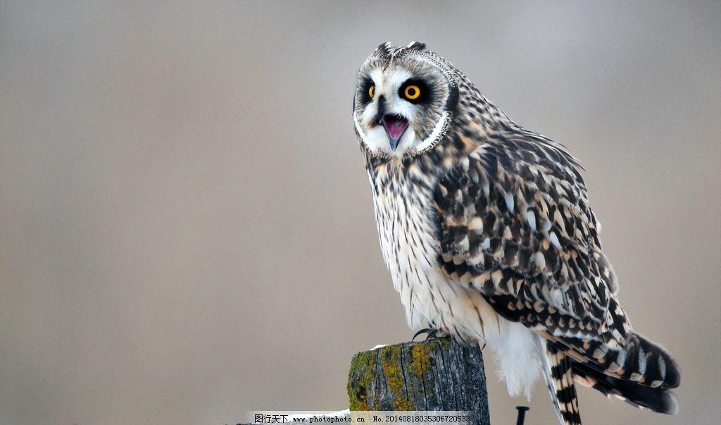 猫头鹰 鸟类 飞行生物 动物 灰色猫头鹰 摄影 jpg 300dpi 生物 生物
