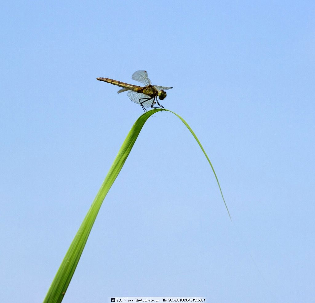 蜻蜓 益虫 水稻 休憩 动物 摄影