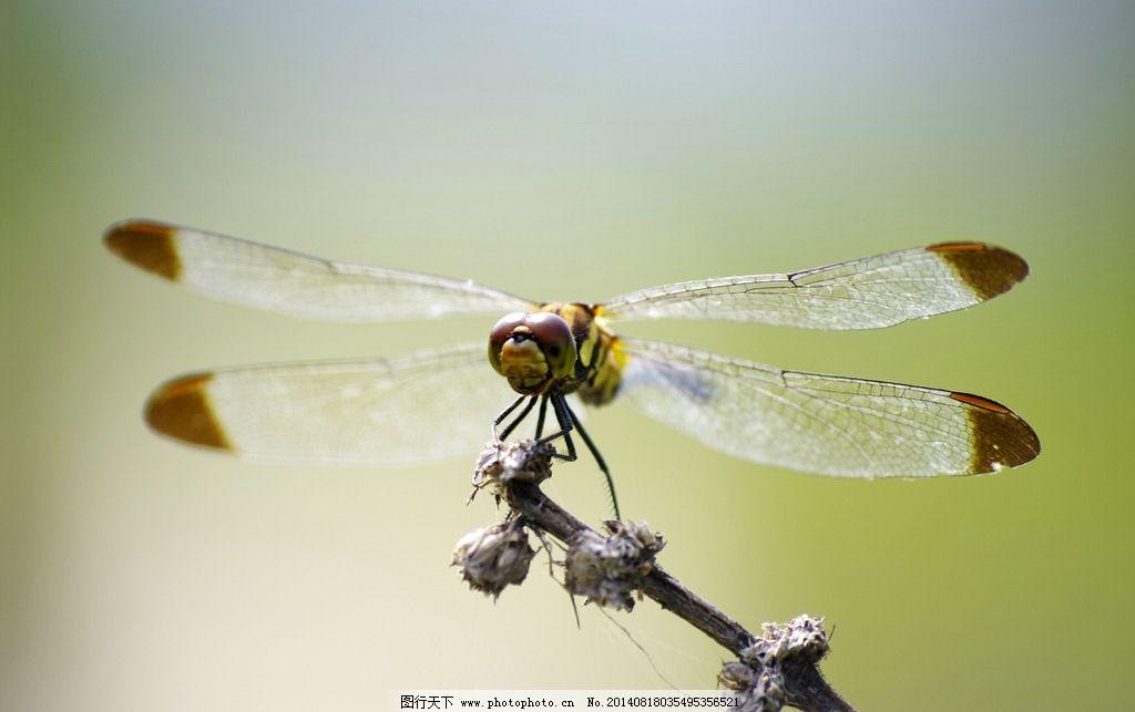 蜻蜓 昆虫 益虫 枯草 休憩 动物 生物世界 摄影 72dpi jpg
