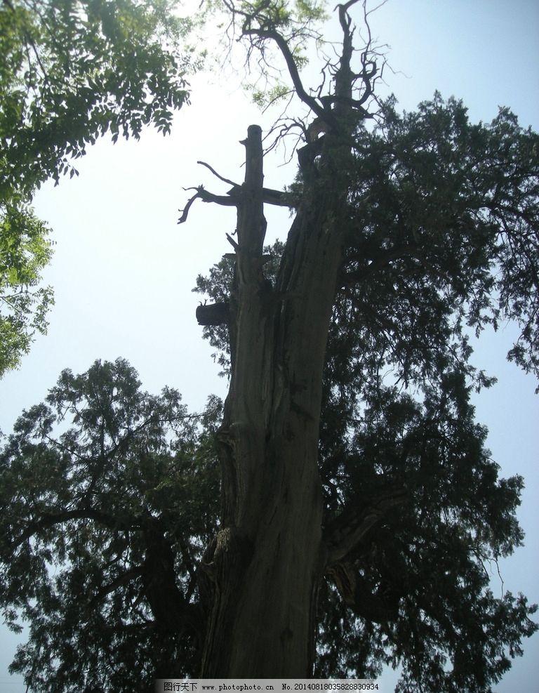 古柏 树木 千年古柏 柏树 树干 参天大树 仰视 树木树叶 生物世界