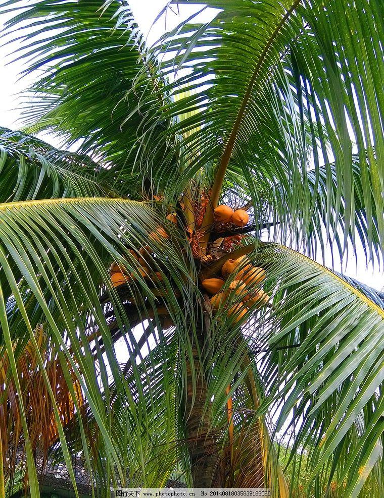 椰子树 山水 旅游 风光 风景 摄影 椰子 树木树叶 生物世界 45dpi jpg