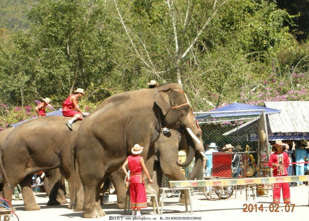 亚洲象 大象 表演 动物 跳舞 动物跳舞 动物表演 大象表演 野生动物