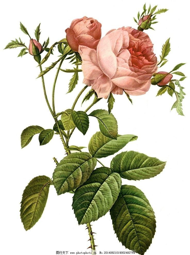 手绘玫瑰 手绘 玫瑰 月季