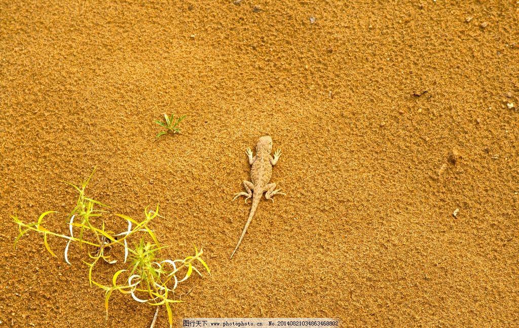 沙漠里的蜥蜴和小草 内蒙古 响沙湾 旅游 景区 动物 金色的沙漠
