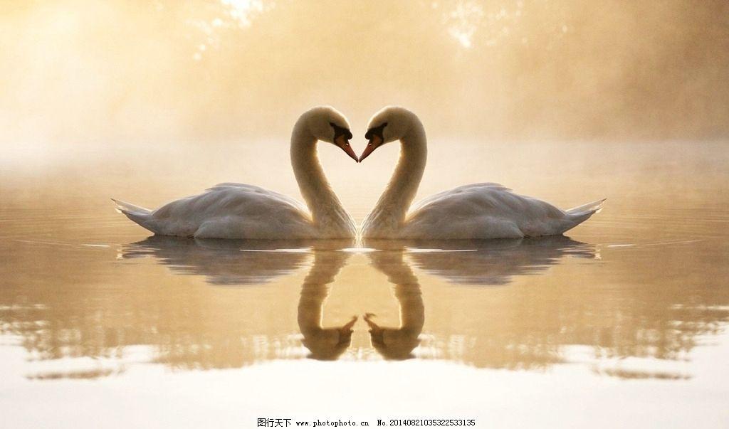 天鹅 浪漫 情侣 心形 湖泊 鸟类 生物世界 摄影 120dpi jpg