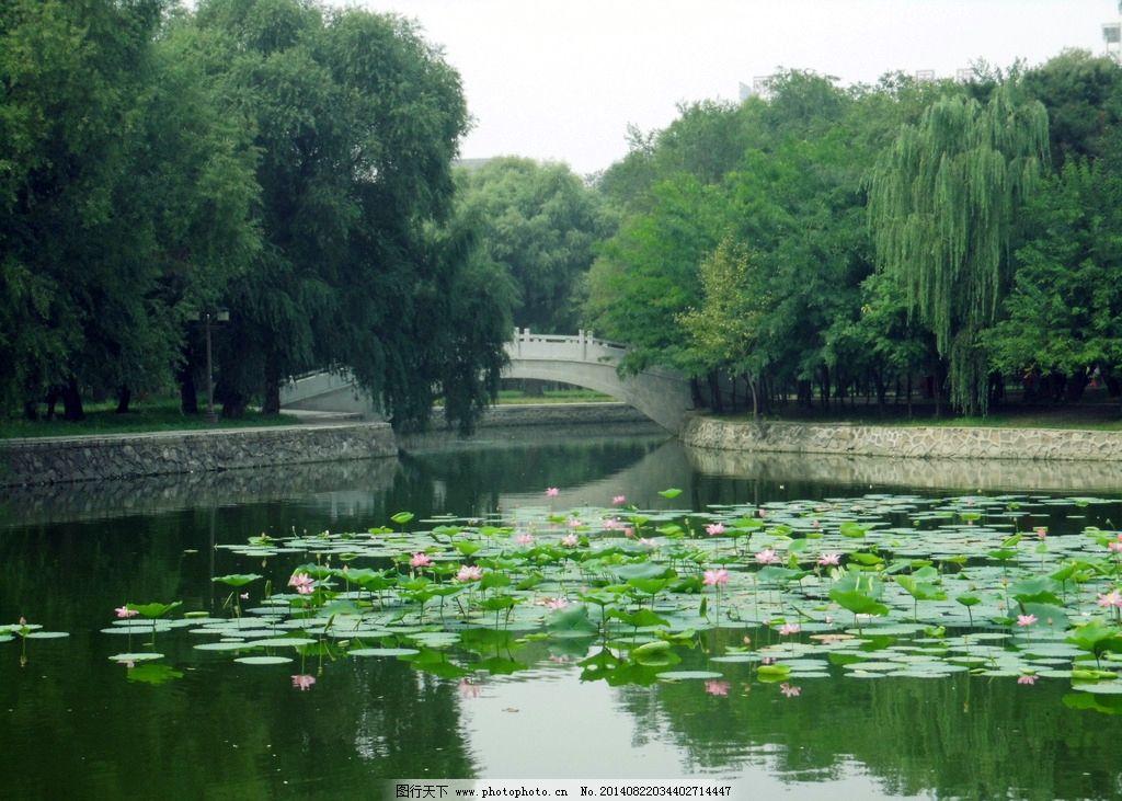荷塘 荷花 桥 绿树 柳树 石桥 湖水 摄影 山水风景 自然景观 300dpi