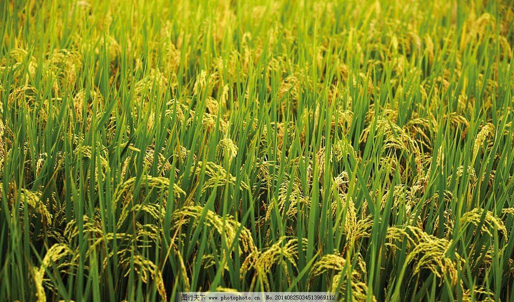 稻子成熟的图片秋天丰收-稻子成熟的图片