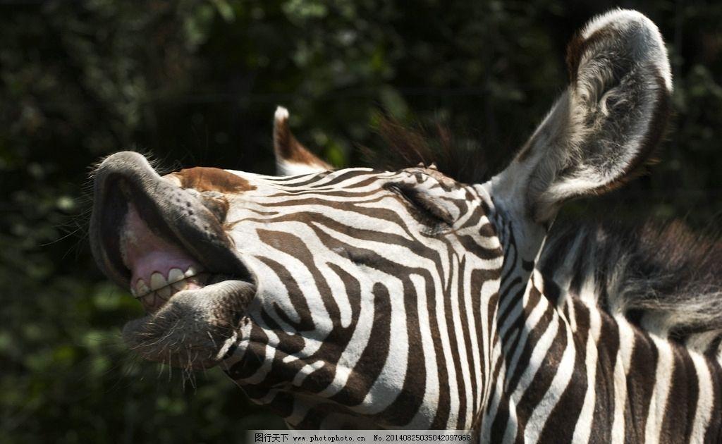 动物搞怪 斑马 条纹 生物百科