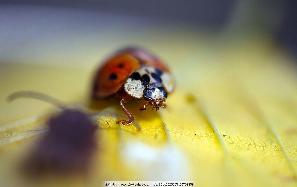瓢虫 七星瓢虫 生物 昆虫 节肢动物 甲虫 甲壳虫 生物世界 摄影 350