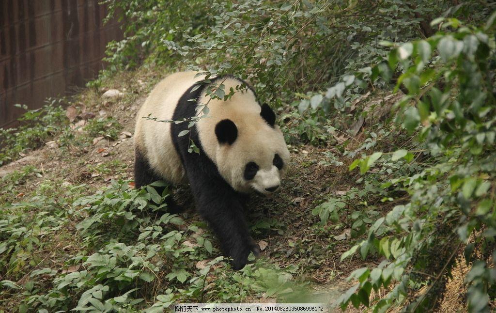 大熊猫 成都 成都大熊猫 国宝 熊猫 野生动物 生物世界 摄影 72dpi