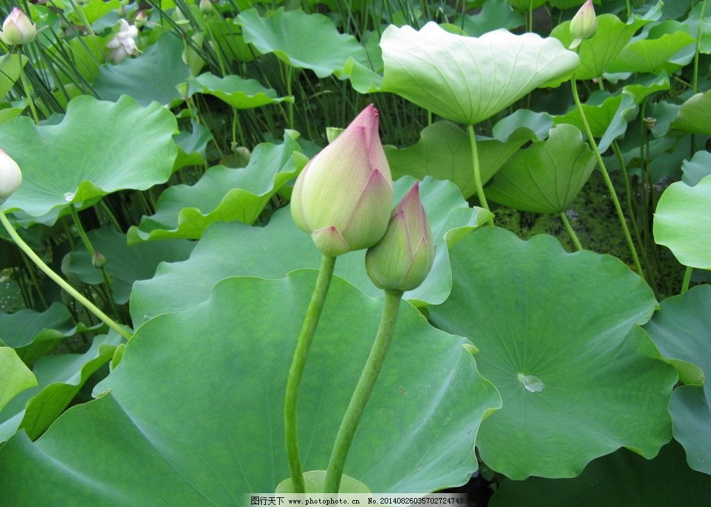 荷花 荷叶 花 水 水珠 水滴 盆景 盆栽 花园 花盆 莲花 莲花骨朵 莲