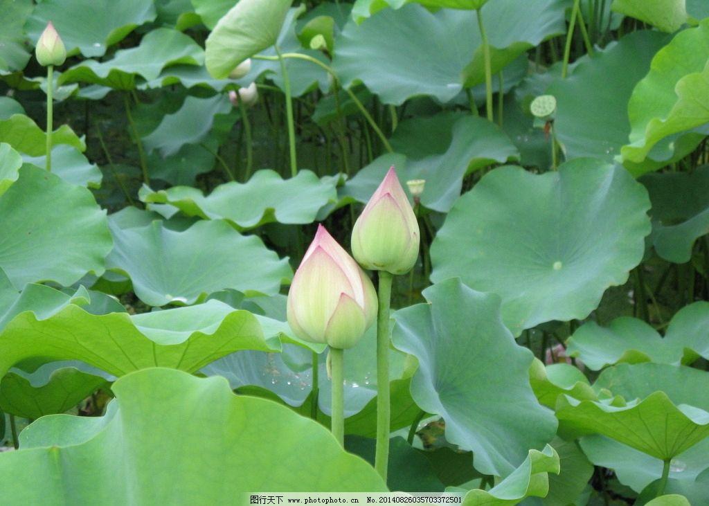荷花 荷叶 花 水 水珠 水滴 盆景 盆栽 花园 花盆 莲花 莲花骨朵 莲子