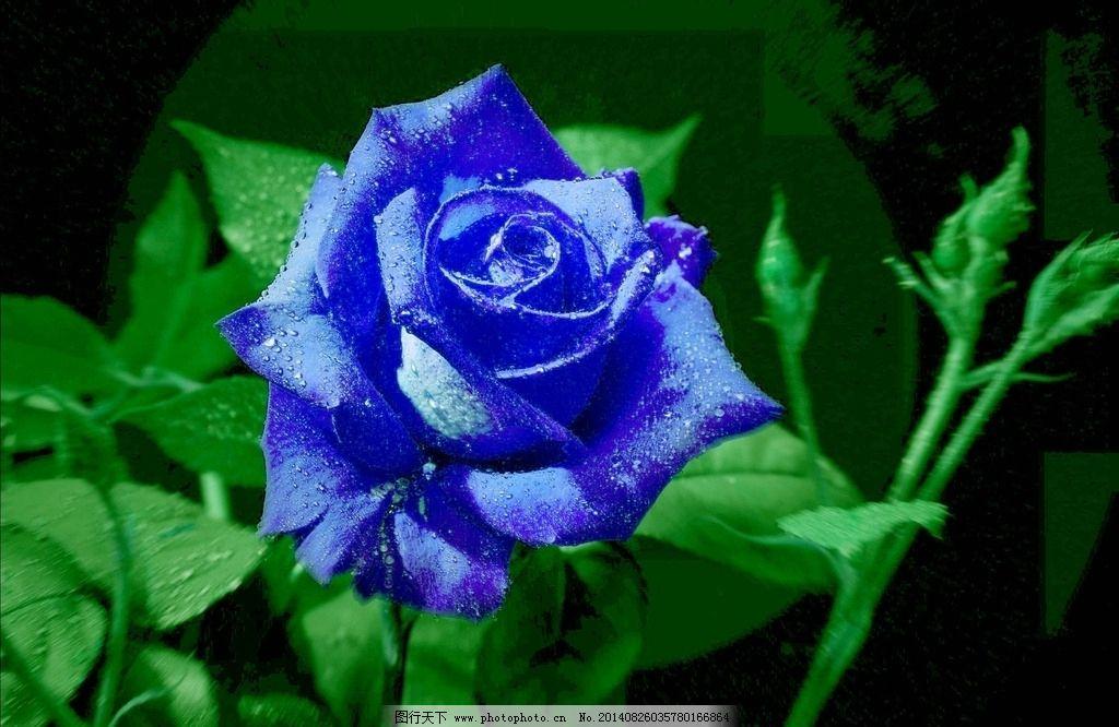 蓝玫瑰 蓝色妖姬 露水 玫瑰花 玫瑰 唯美 花卉 玫瑰摄影 花草 生物