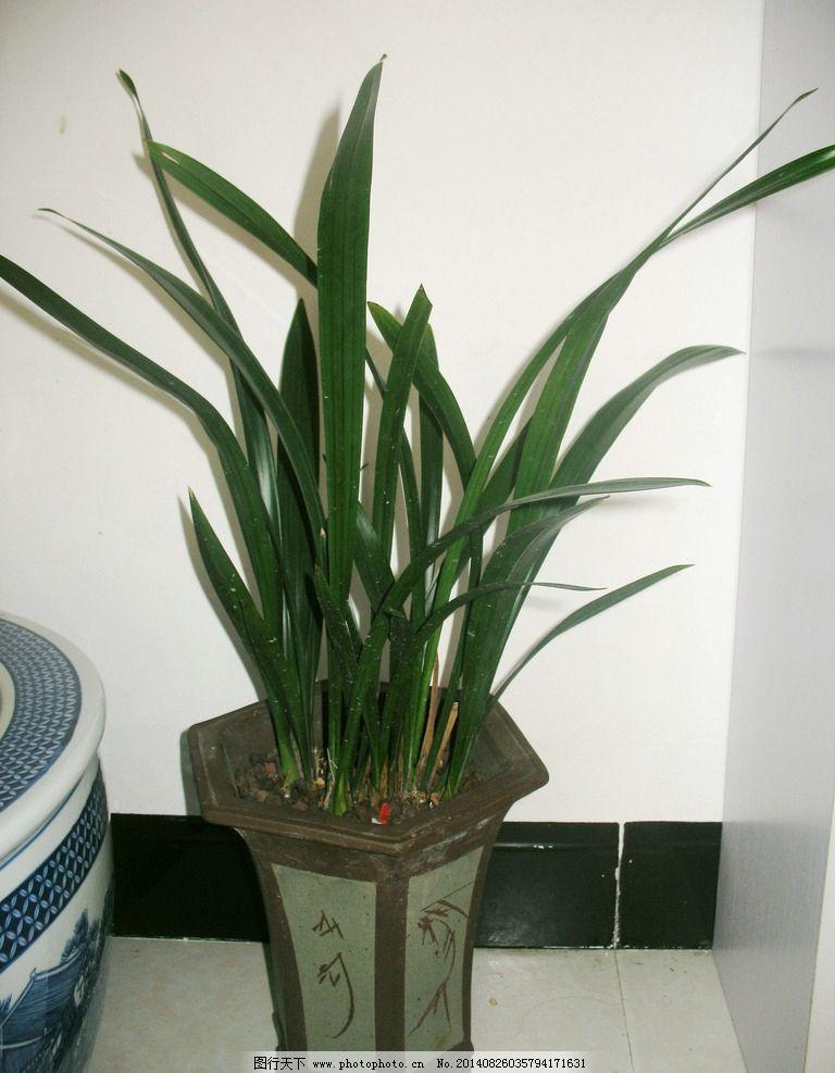 兰花 盆栽 兰属植物 中国传统名花