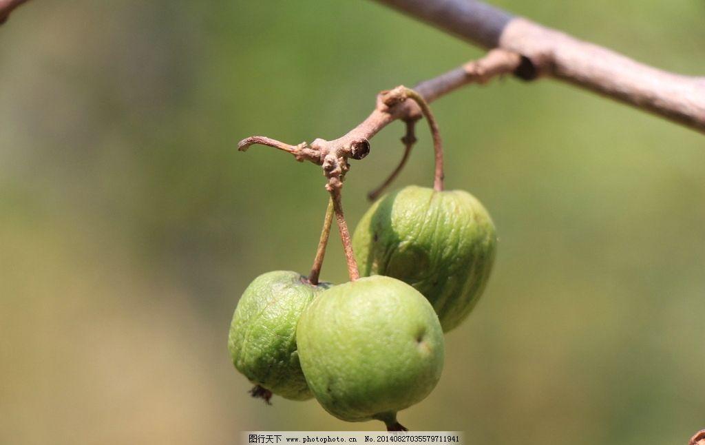 野猕猴桃图片