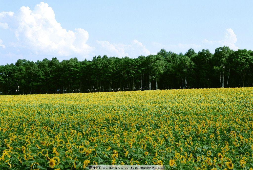 蓝天白云树木 蓝天 白云 树木 花海 摄影 自然风景 自然景观 350dpi j